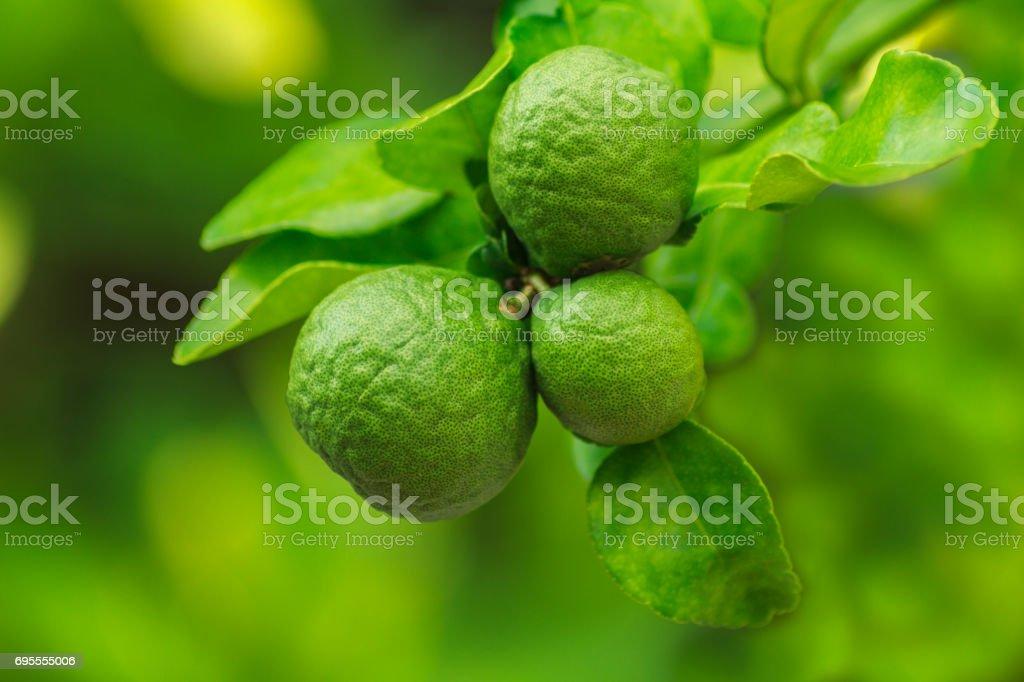 Frais de la bergamote. - Photo