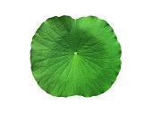 Fresh big green lotus leaf isolated on white background.