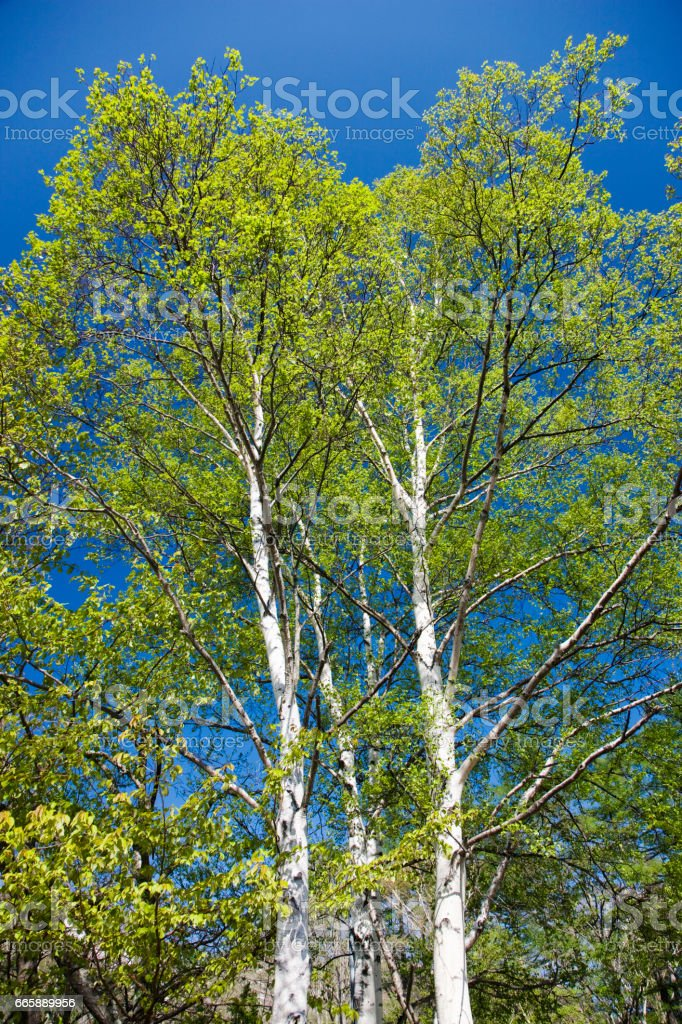 Fresh Birch tree stock photo