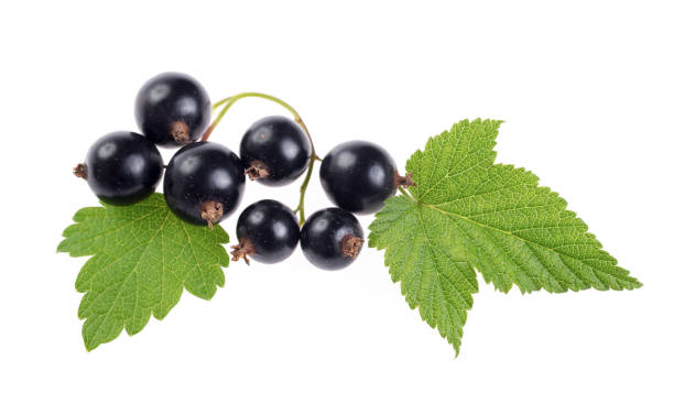 Fresh black currant isolated on white background stock photo