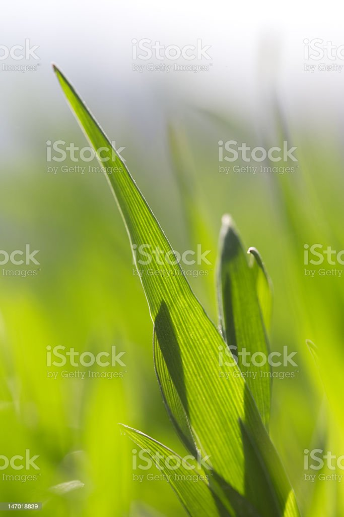 Fresh blade of grass in the spring royalty-free stock photo
