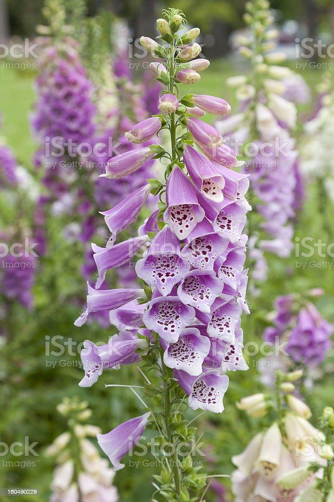 Fresh blooming digitalis stock photo