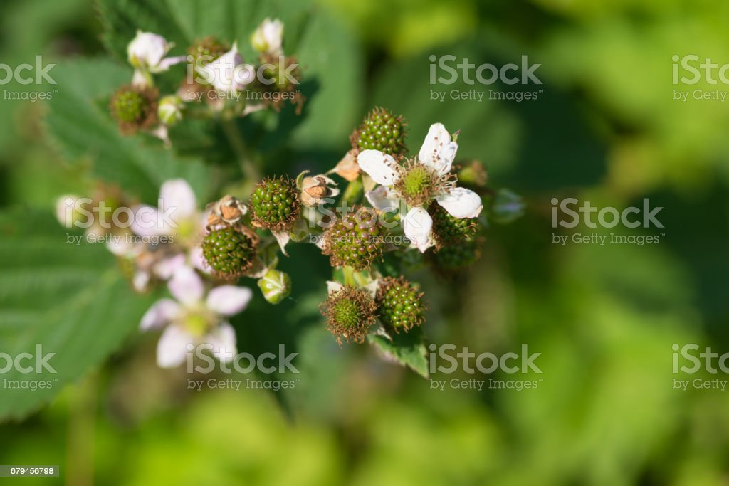 Fresh blooming unripe Blackberry in the garden royalty-free stock photo