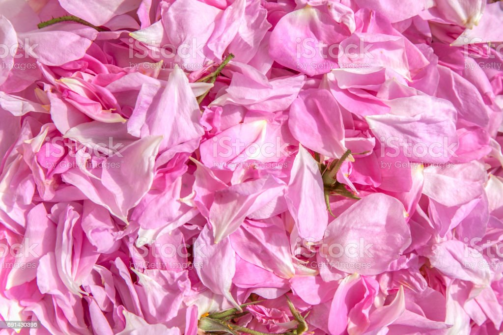 Fresh Blossoms Of Roses stock photo