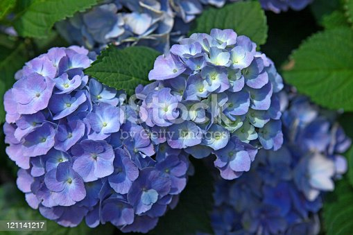 Close-up of blue and purple Hydrangea flowers in Denmark. Selective focus. (XXXL Canon 5D Mar II). More Hydrangea: