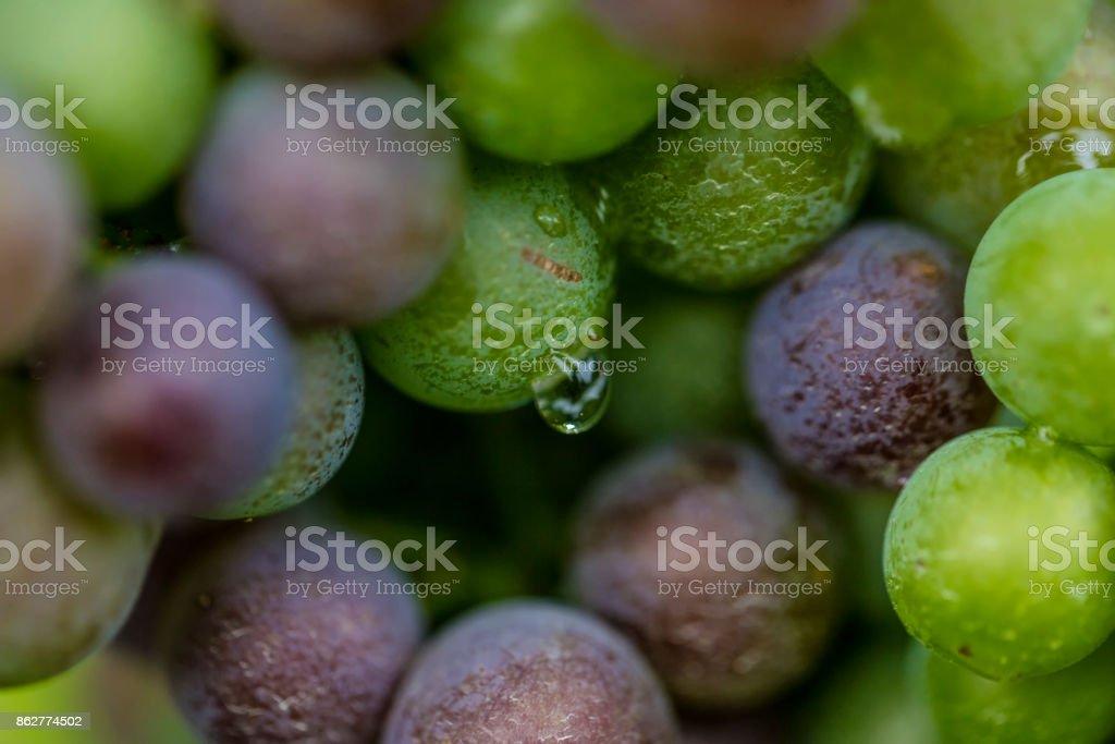 fresh blue grapes in vineyard stock photo