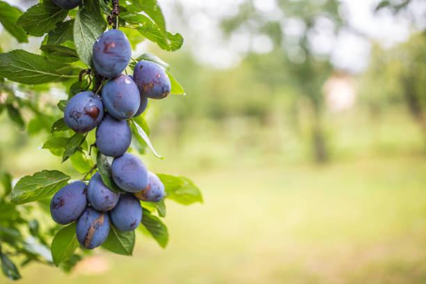 Frischen blauen Pflaumen auf einem Ast im Garten. – Foto