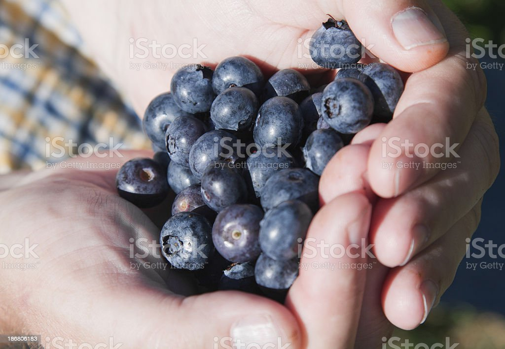Fresh Blueberries Held Cupped in the Hand stock photo