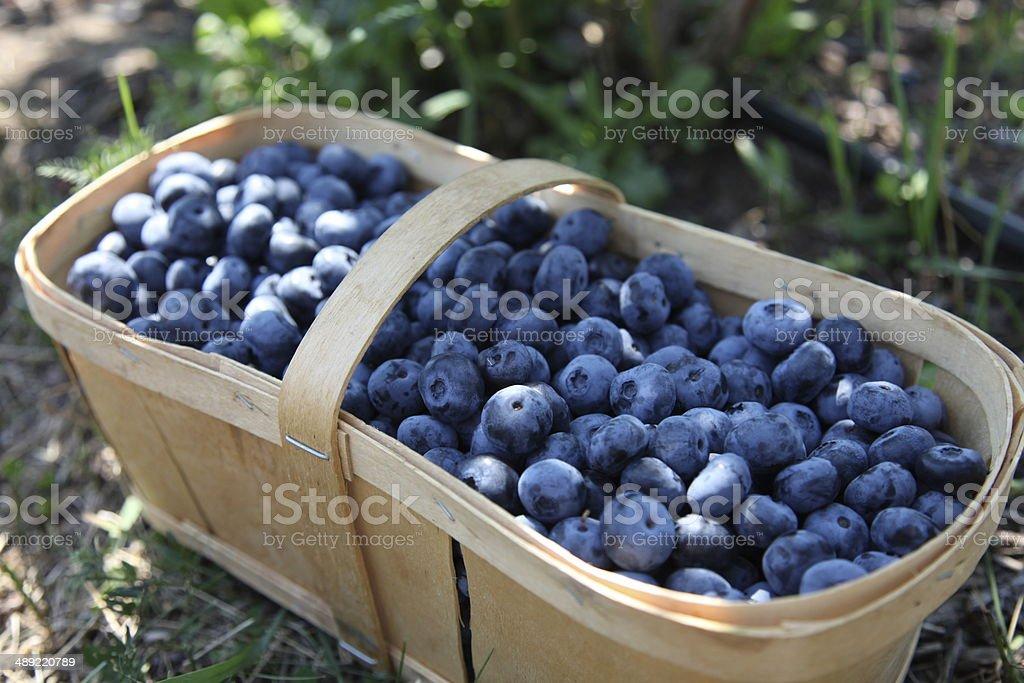 Fresh blueberries in harvest basket stock photo