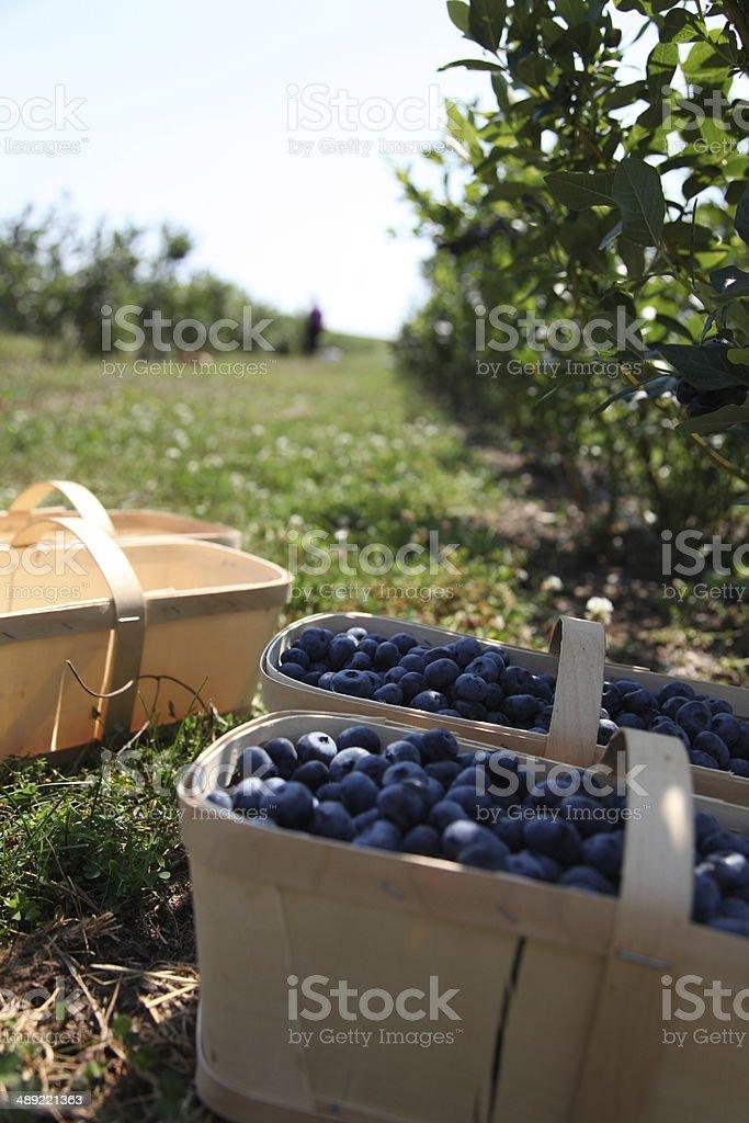 Fresh blueberries in harvest baskets stock photo