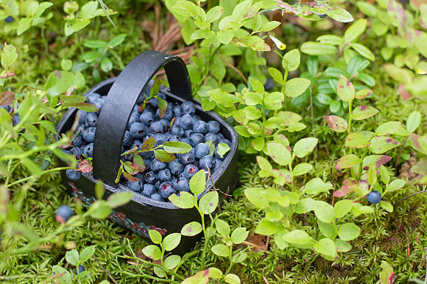 Fresh blueberry in basket stock photo
