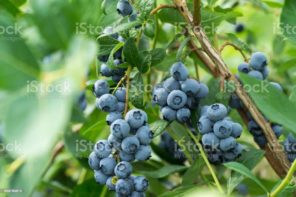 Fresh blueberrys on the branch on a blueberry field farm. stock photo