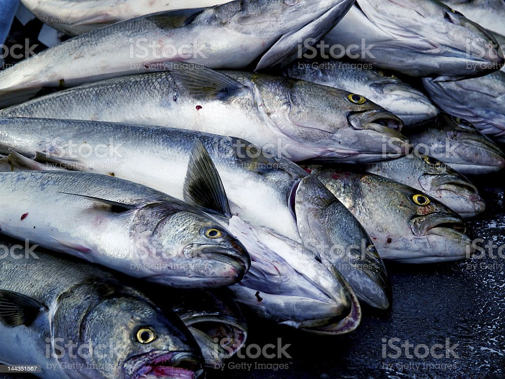 Fresh Bluefish Catch stock photo