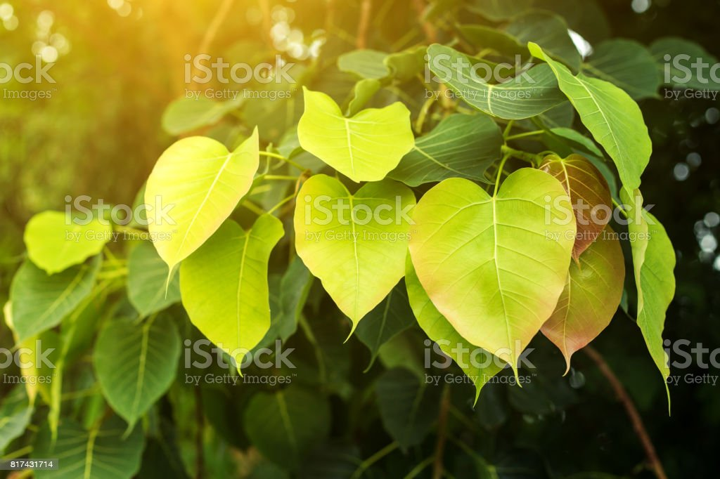 fresh Bo leaf background with sunlight stock photo