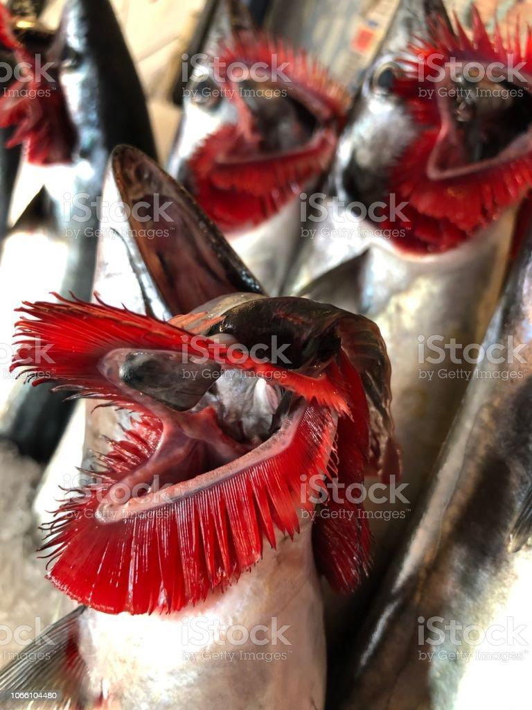 Fresh bonito fish Gill stock photo