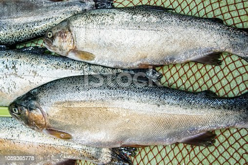 635931692 istock photo Fresh bonito for sale 1059365778