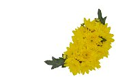 Fresh bouquet of yellow Chrysanthemum flowers isolated on white background with space for text.