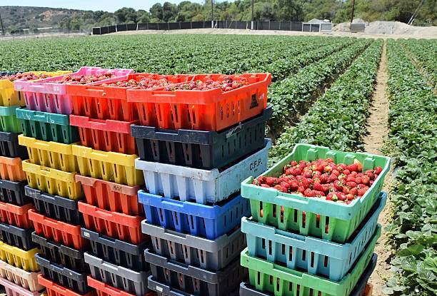 Fresh Boxed Strawberries Salinas, California, USA - June 30. 2015: Freshly picked strawberries are stacked in colorful crates. strawberry field stock pictures, royalty-free photos & images