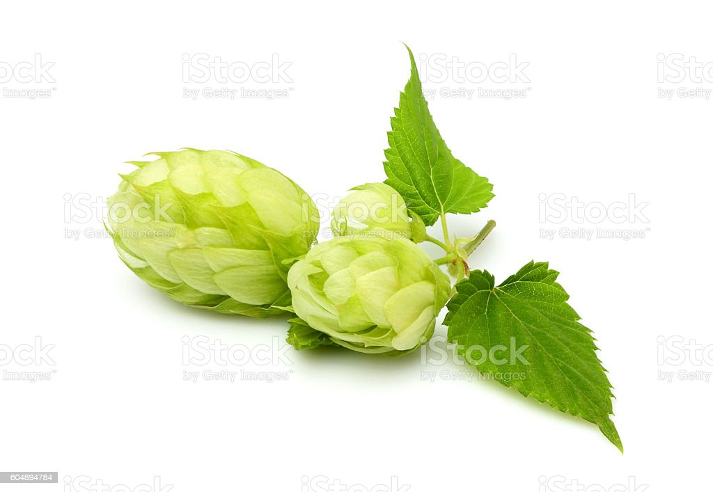 Fresh branch of hops isolated. stock photo