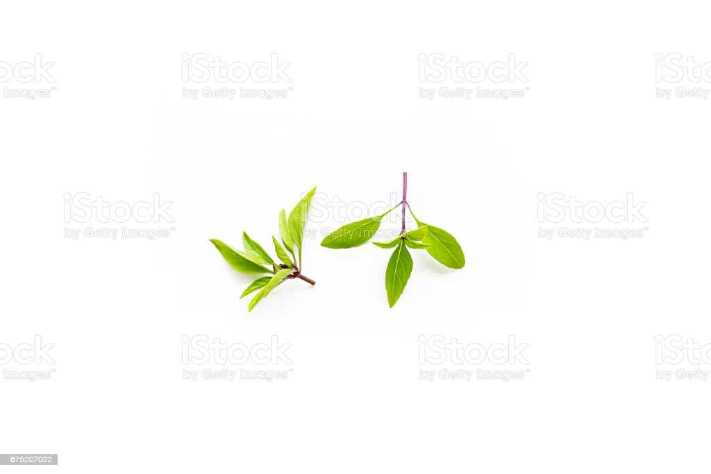 Fresh branch of organic Thai basil isolated on a white background stock photo