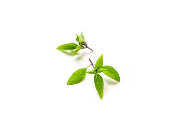 frischen zweig der bio thai-basilikum, isoliert auf weißem hintergrund - ocimum tenuiflorum stock-fotos und bilder