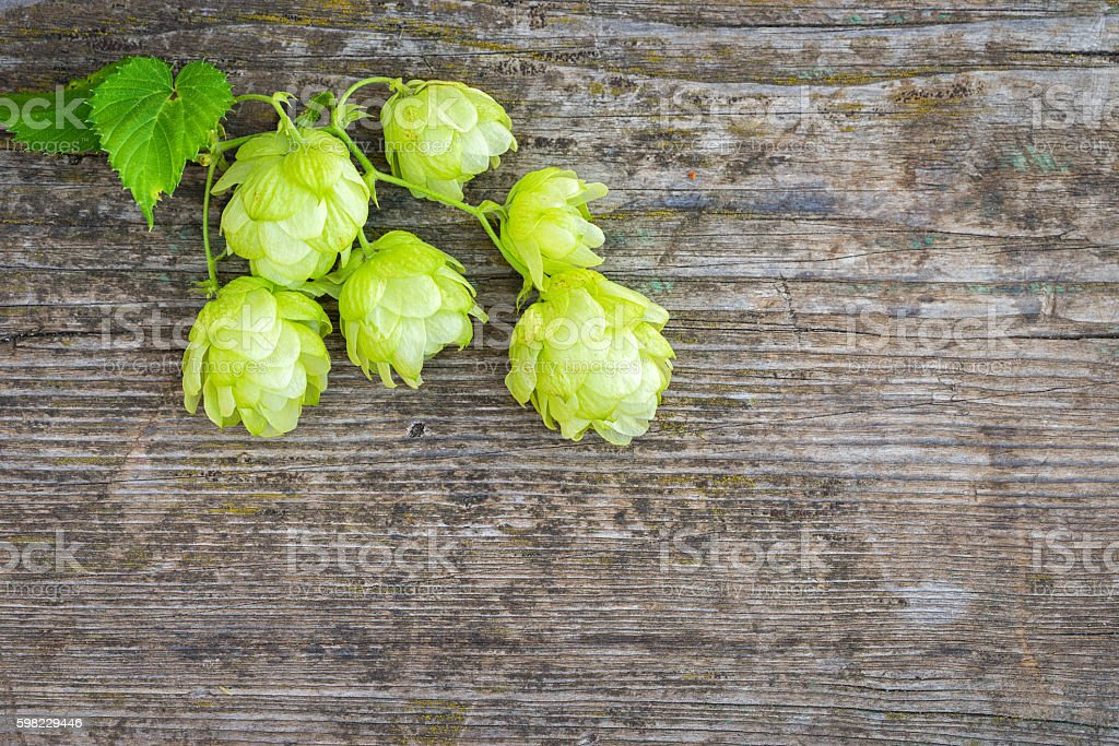 Fresh branches and cones of green hop foto royalty-free