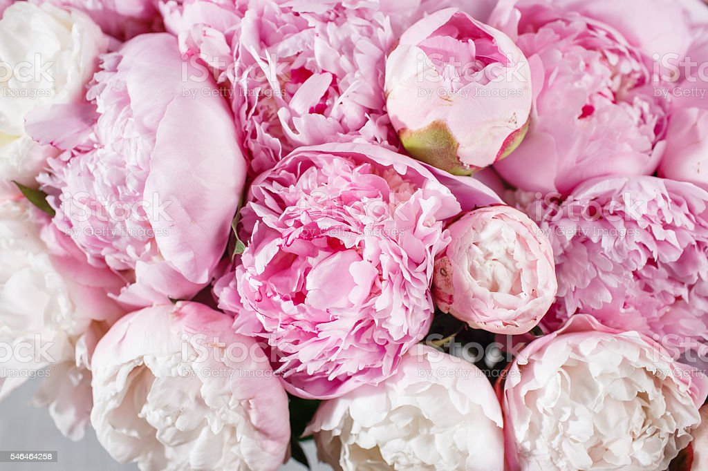 fresh bright blooming peonies flowers with dew drops on petals – Foto