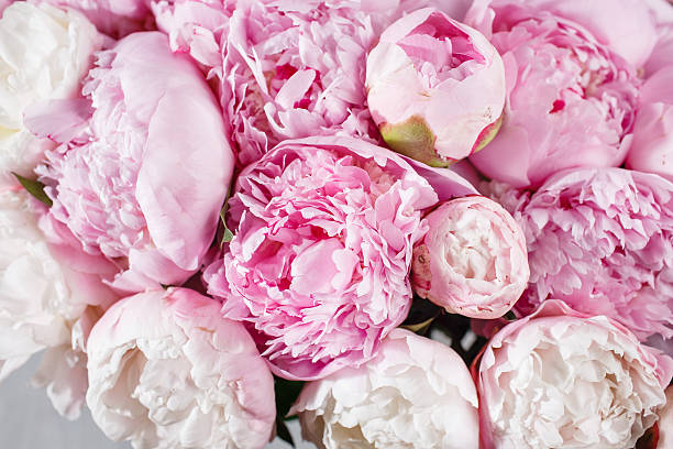 fresh bright blooming peonies flowers with dew drops on petals - foto de acervo