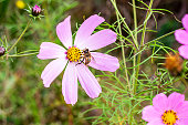 Fresh bright pink Cosmos flowers with the bee in the garden on green grass background in summer.