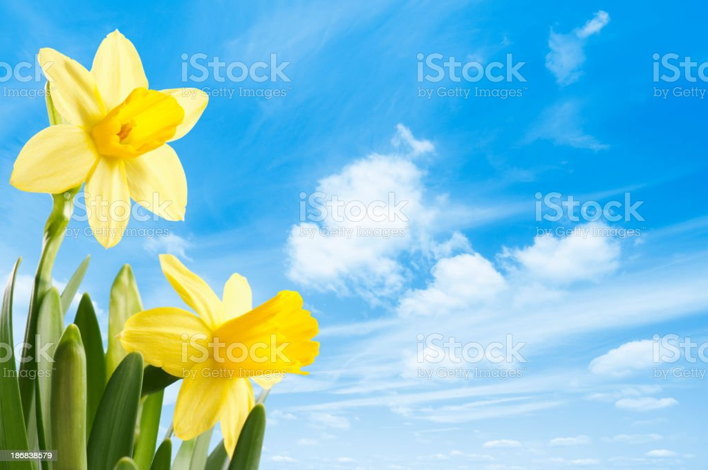 Fresh bright yellow spring daffodils against a blue sky stock photo