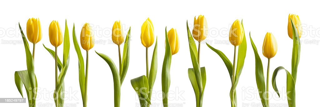 Fresh bright yellow spring tulips on white background stock photo