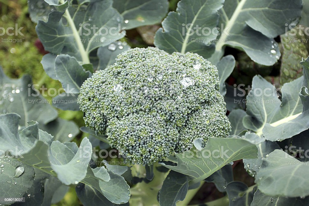 Fresh broccoli in an organic farm stock photo
