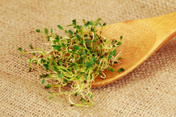 Fresh broccoli sprouts The broccoli sprouts on a fabric background bean sprout stock pictures, royalty-free photos & images