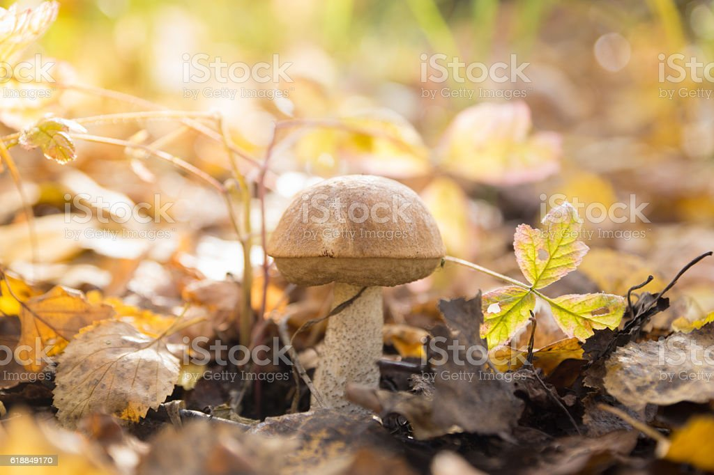 Fresh brown cap boletus mushroom in autumn forest stock photo