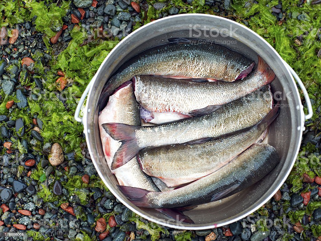 Fresh brushed fish ready for cooking in the bowler. royalty-free stock photo