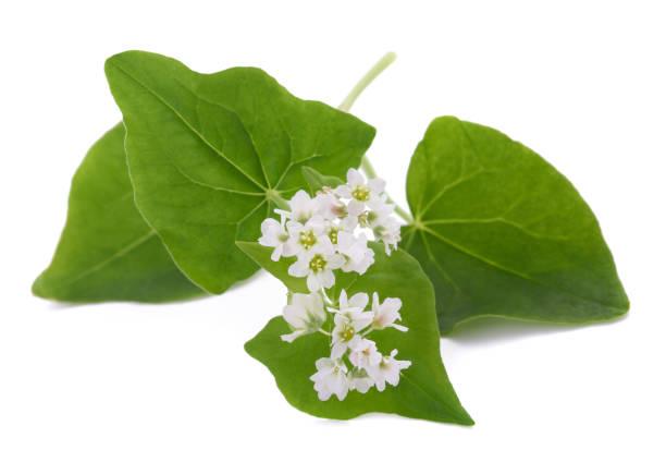 verse bloemen van boekweit - boekweit stockfoto's en -beelden