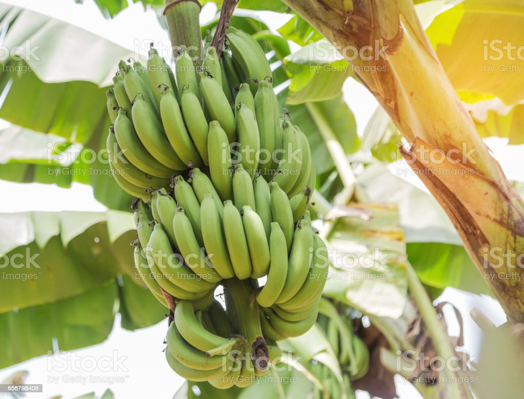 fresh bunch of green cavendish banana or gros michel fruits growing on tree stock photo