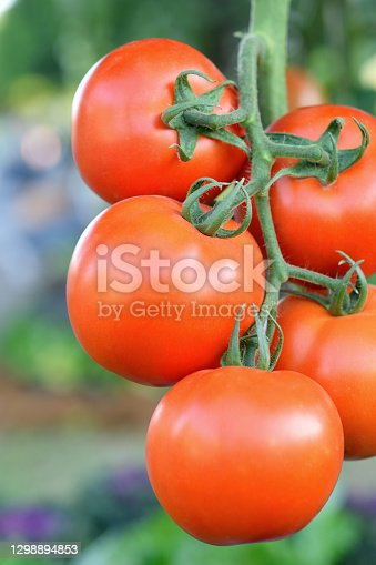 Fresh bunch of red natural tomatoes on a branch in the garden