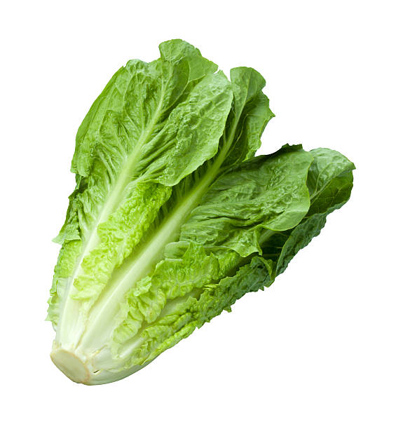 Fresh bunch of romaine lettuce isolated on white background Fresh single stalk of green Romain lettuce.  The vegetable is photographed at an angle,and is full focus from front to back. Lettuce is a healthy fiber used as an ingredient and many salads. romaine lettuce stock pictures, royalty-free photos & images