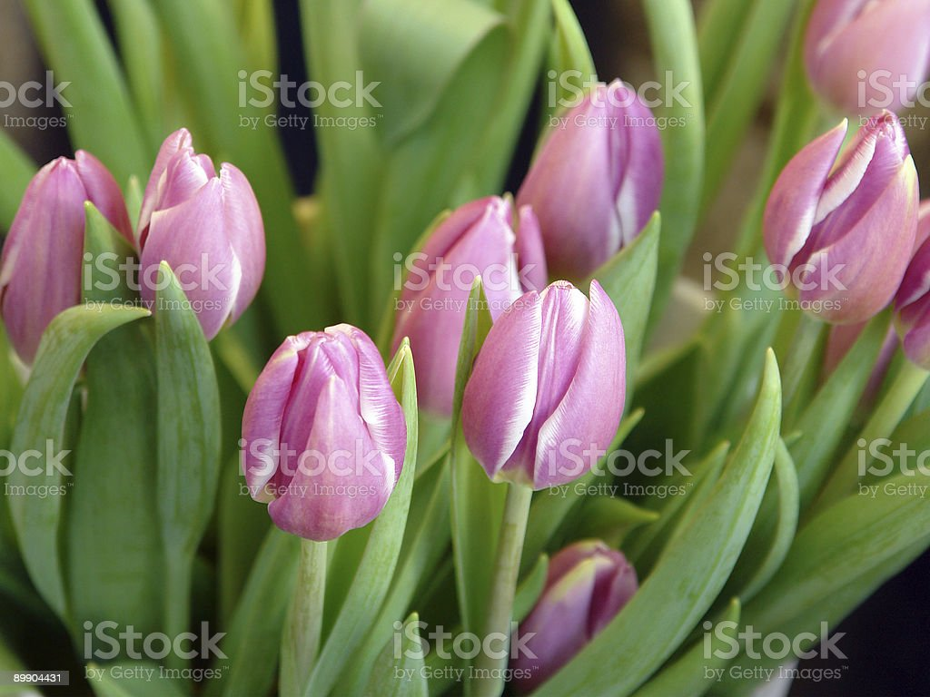 Fresh bunch of tulips royalty-free stock photo