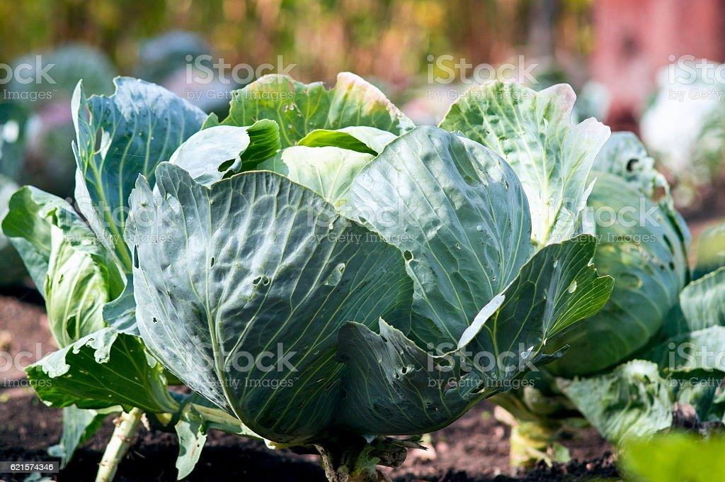 Fresh cabbage in garden photo libre de droits