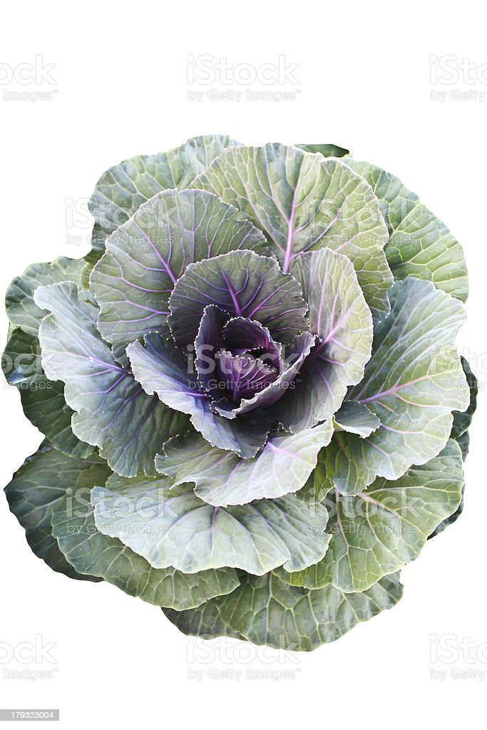 Fresh cabbage isolate royalty-free stock photo
