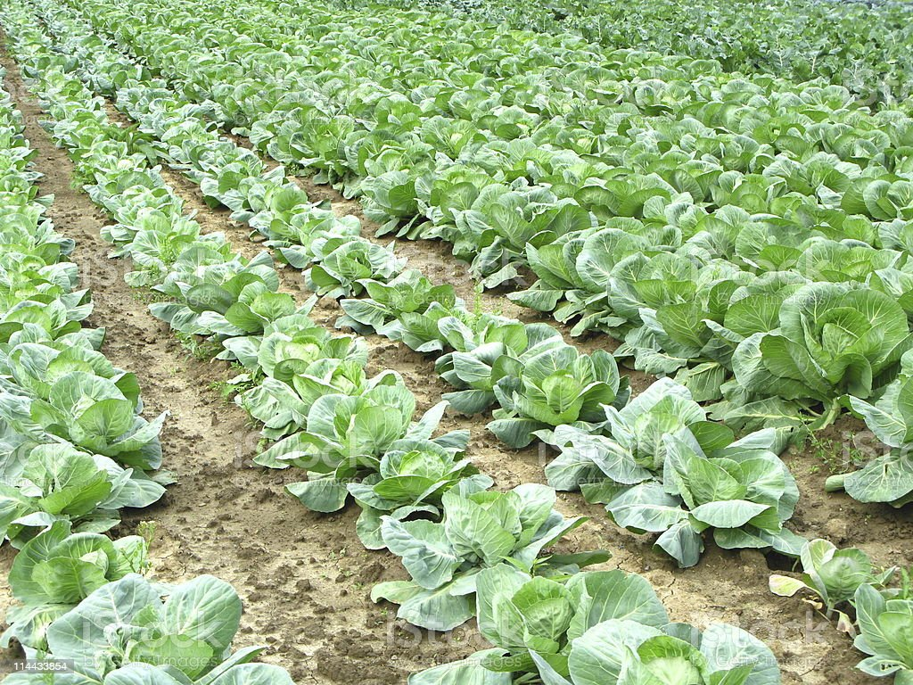 Fresh cabbage on a field royalty-free stock photo