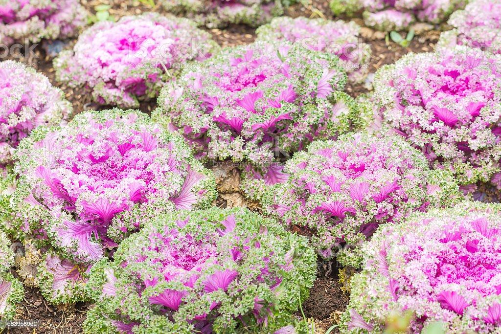 Fresh Cabbage (brassica oleracea) plant leaves stock photo