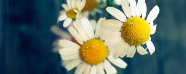 Fresh camomile flowers from the garden picture id1254497370?b=1&k=6&m=1254497370&s=612x612&w=0&h=2cjz5ittm dwceupirscbrrachwtgrdj jysm83exuy=