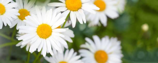 Fresh camomile flowers from the garden picture id1254500033?b=1&k=6&m=1254500033&s=612x612&w=0&h=vclsdpfrvkfkgobhv3yngwsmgnhhhddijxqw0ghqdo0=