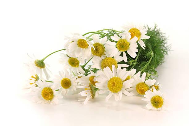 fresh camomile flowers stock photo