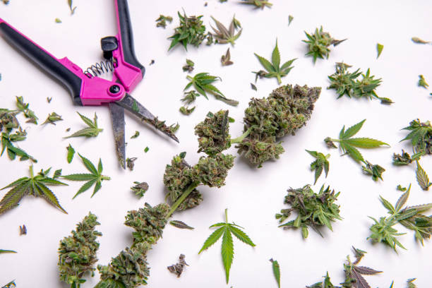 Fresh cannabis flower with trimming cuts isolated over white stock photo