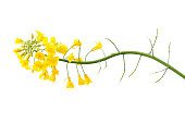 Fresh Canola Flower on White