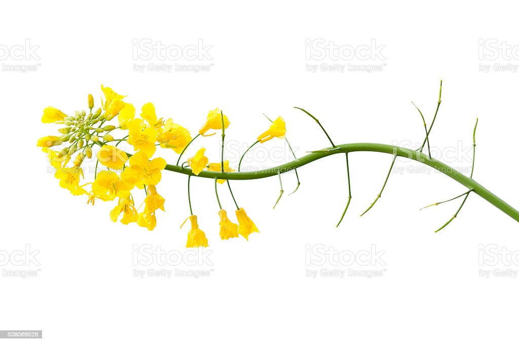 Fresh Canola Flower on White stock photo